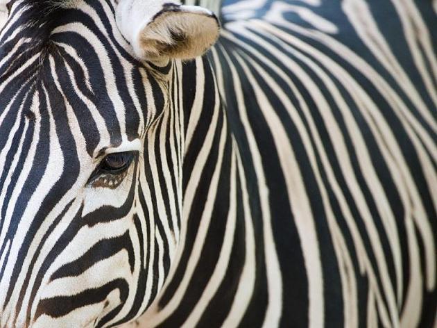 Zebrabemalung schützt auch Menschen vor Stichen mancher Insektenarten