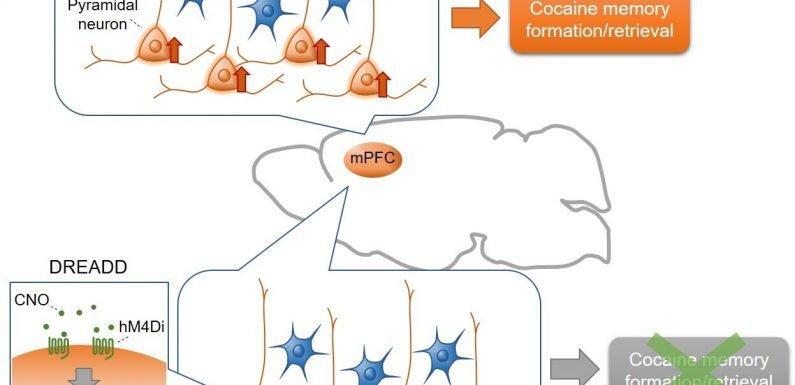 Cell-type specific Mechanismus für die Bildung und den Abruf von Kokain-assoziierten Erinnerungen