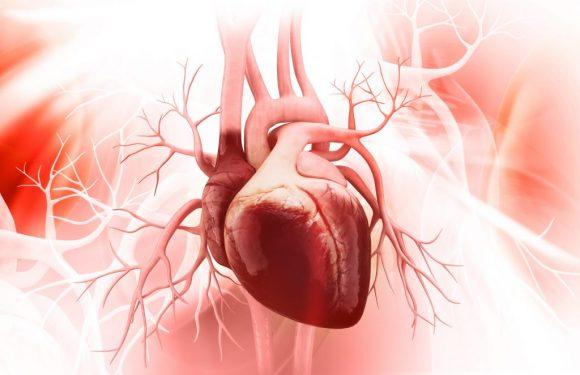 Herz-Motor entschlüsselt: Bisher unbekannte Mini-Eiweiße dienen als Herz-Treibstoff