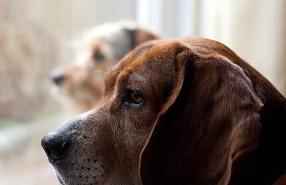 Wie zu Helfen, Ihr Haustier Deal Mit Trennungsangst zu Holen! Pet Care