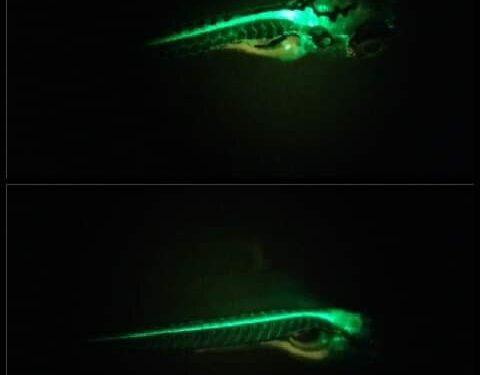 Die Förderung der Entdeckung neuer Medikamente zur Behandlung von Rückenmarksverletzungen mit Hilfe von Zebrafisch –