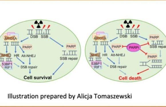 Labor-Studien identifizieren, die einen möglichen Weg zur Behandlung von menschlichen Krebsarten mit ARID1A Mutationen