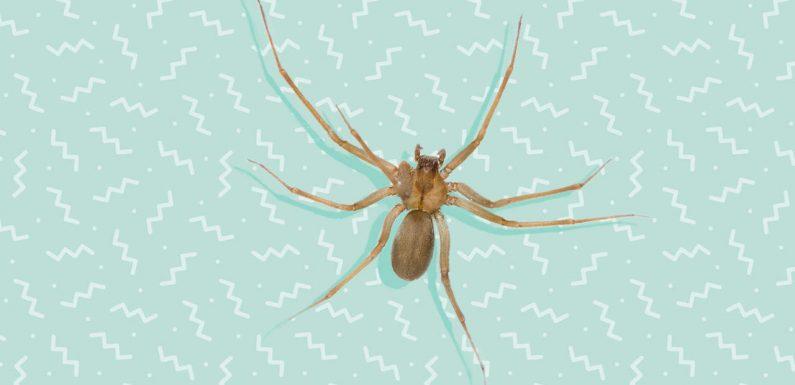 Diese Frau Dachte, Sie Hatte Wasser Stecken in Ihr Ohr— Aber es Stellte sich Heraus, dass ein Braunen Einsiedler Spinne