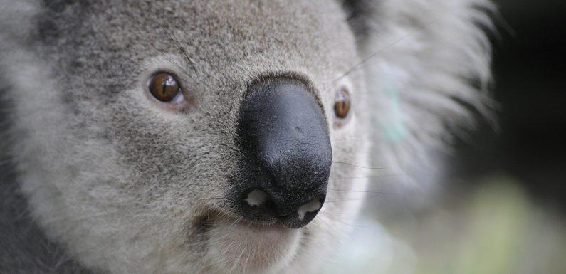 Neue Studie zeigt eine angeborene Genom der Immunantwort gegen Retroviren in koalas
