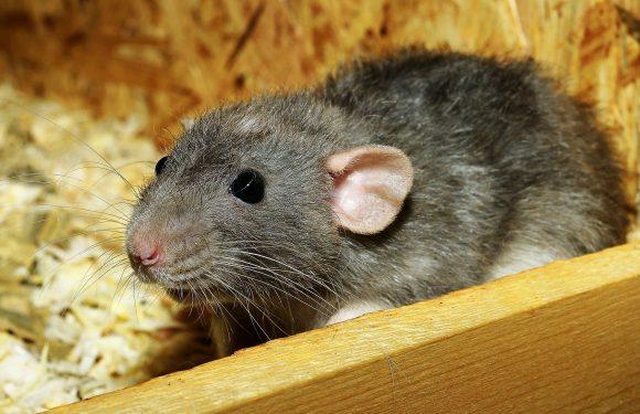 Bedeutung des Stillens in der Verhinderung von diabetes bekräftigte in Ratten-Studie