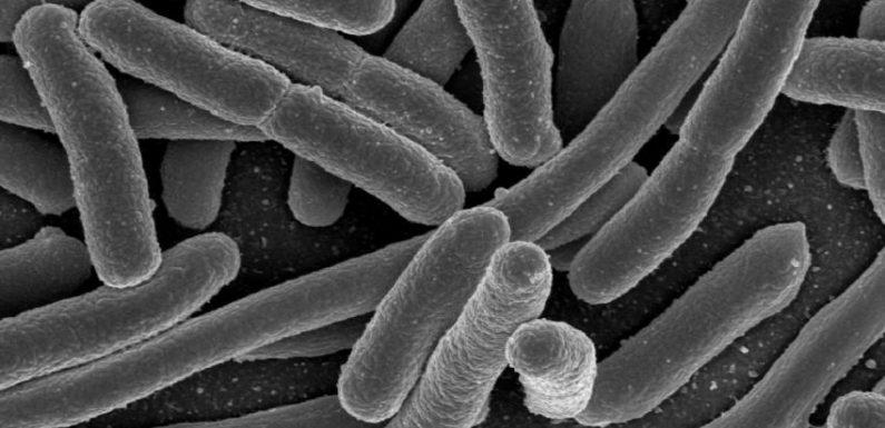 FDA sagt, dass Kühe verursacht haben, E. coli Kontamination Salat