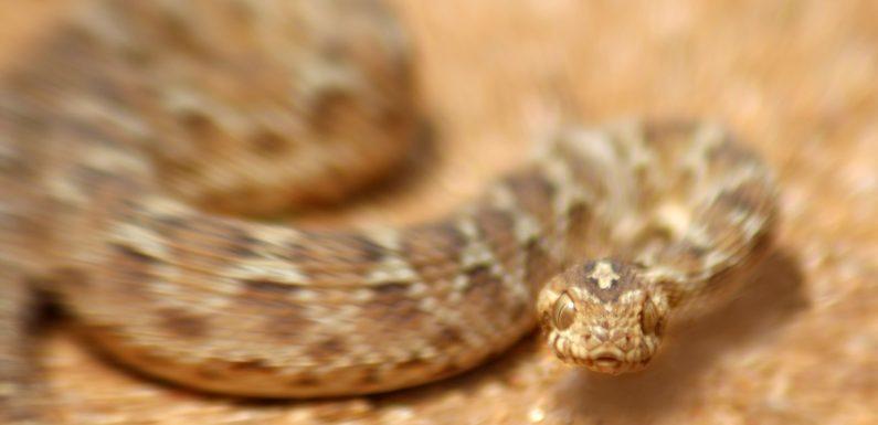 Schnellere Behandlung von Schlangenbissen