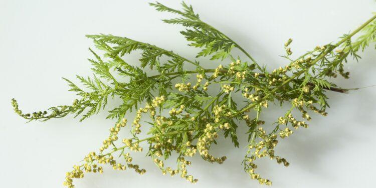Coronavirus: Diese Heilpflanze wirkt gegen SARS-CoV-2 – Naturheilkunde & Naturheilverfahren Fachportal
